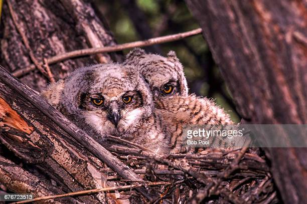 Two juvinal Great Horned Owls in a nest