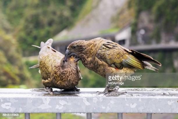 Two Keas(Nestor notabilis),South Island, New Zealand