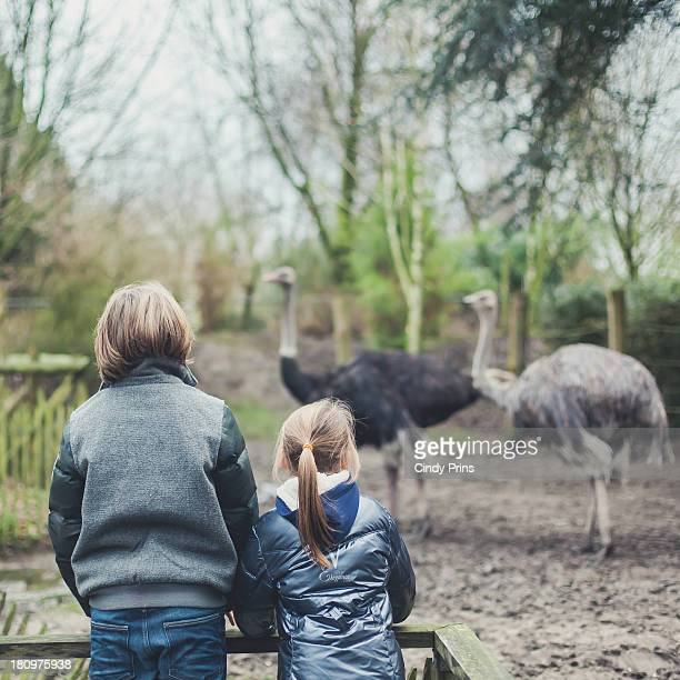 two kids behind a fence watching ostriches - zoo stock pictures, royalty-free photos & images