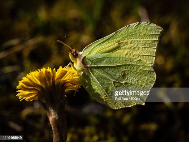 two kinds of yellow nr - coltsfoot stock photos and pictures