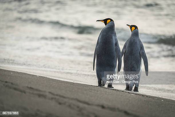 Two king penguins (Aptenodytes patagonicus) are walking along a sandy beach by the edge of the water