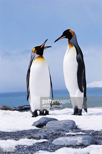 two king penguins facing each other, courtship - royal penguin stock pictures, royalty-free photos & images