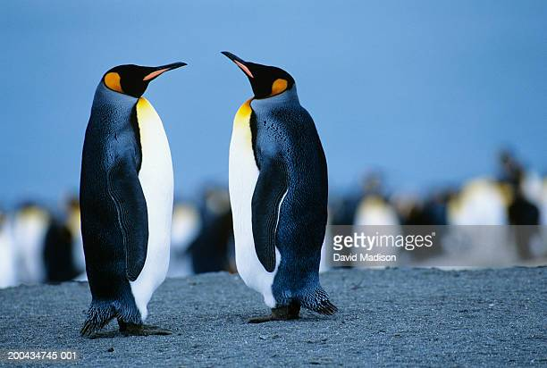 two king penguins (aptenodytes patagonicus) facing one another - royal penguin stock pictures, royalty-free photos & images