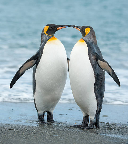 Two King Penguins On A Beach In South Georgia Wall Art