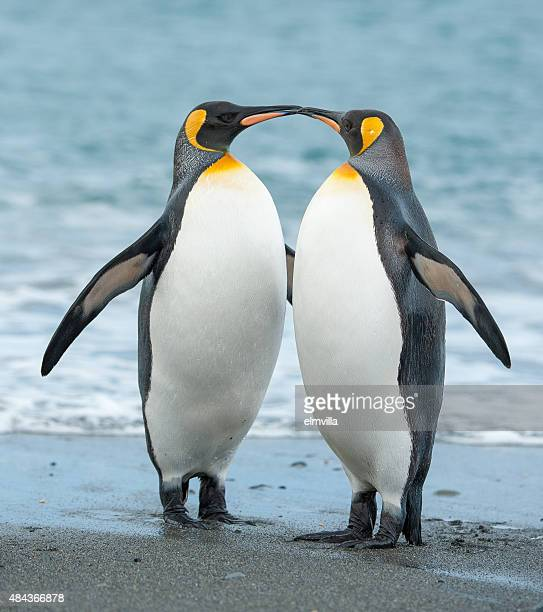 Two King Penguins on a beach in South Georgia