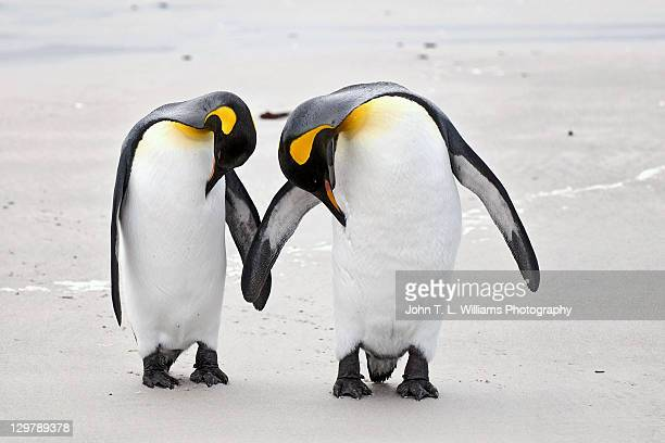 two king penguins - royal penguin stock pictures, royalty-free photos & images