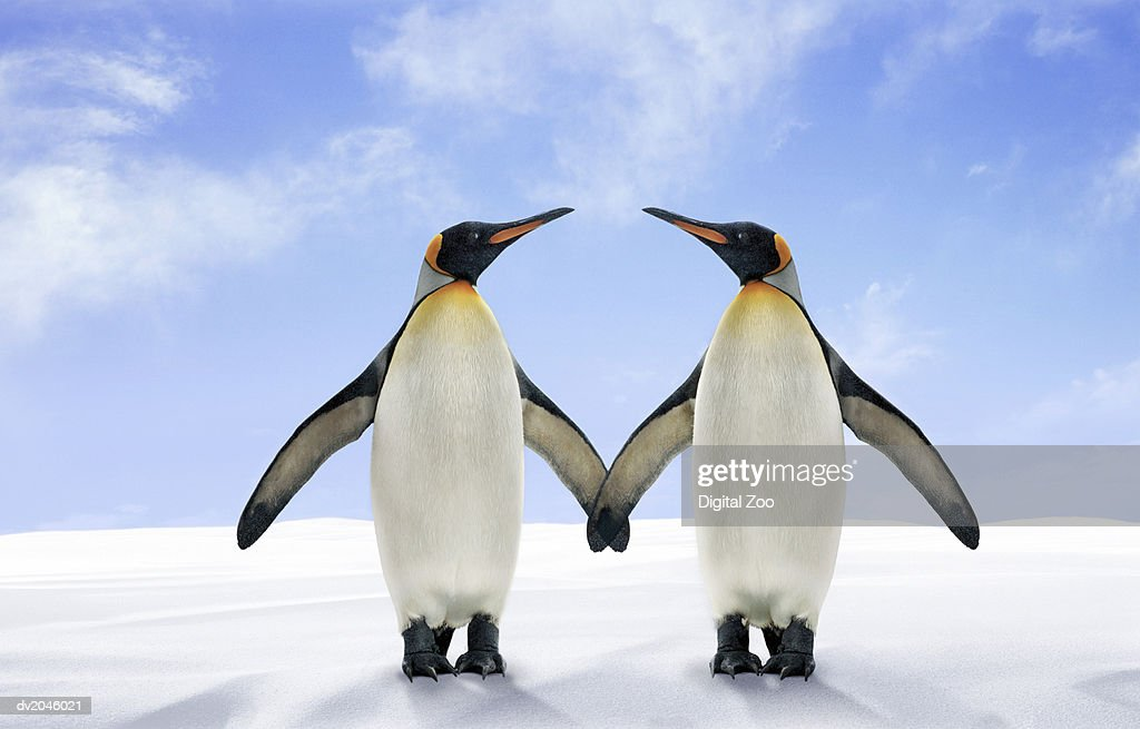 Two King Penguins Stand Side by Side With Their Wings Touching : Stock Photo
