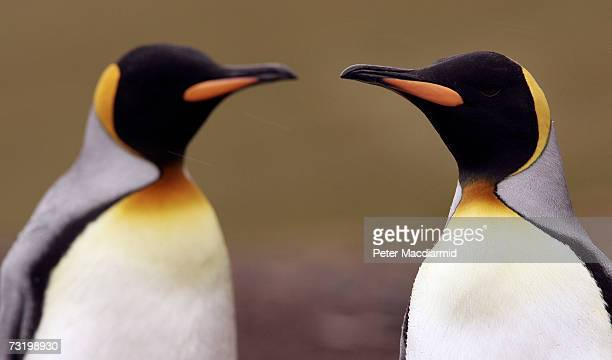 Two king penguins stand together on February 3 2007 on Saunders Island Falkland Islands