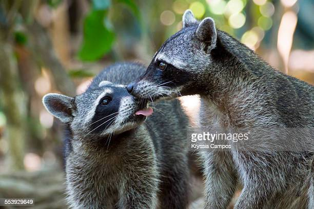 Two kissing racoons (Procyon lotor)