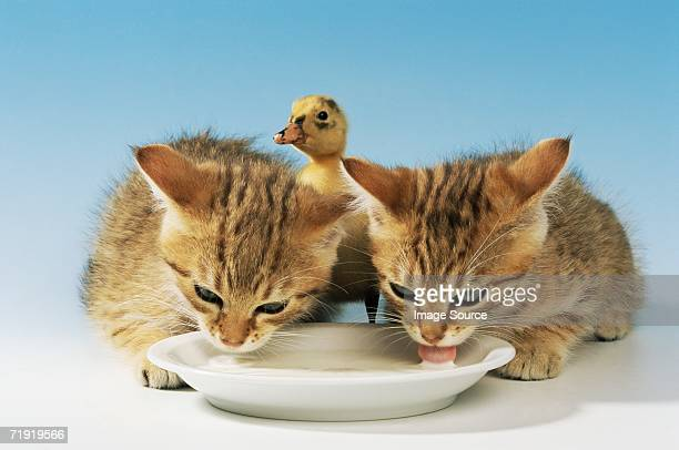 Two kittens and a duckling drinking milk