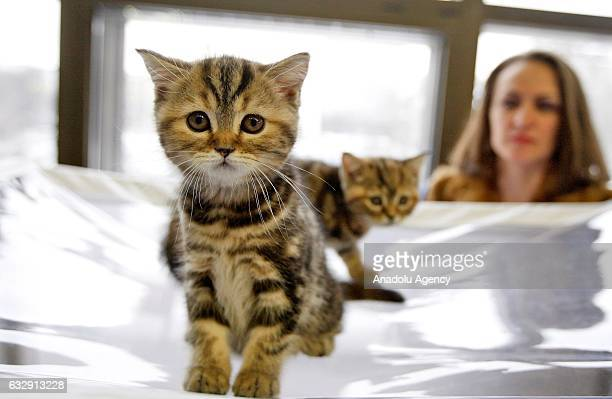 Two kittens are seen during the International Cat Show in Kiev, Ukraine, on January 28, 2017.The show presents more than 20 breeds of cats,including...
