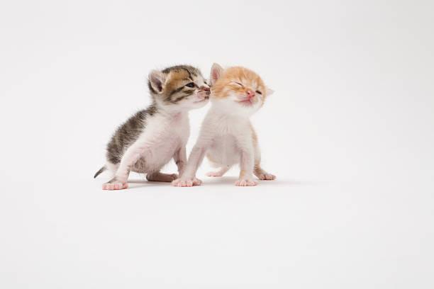 Two Kittens Kissing Against White Background Wall Art
