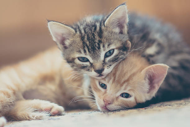 Two Kittens Looking At The Camera. Wall Art