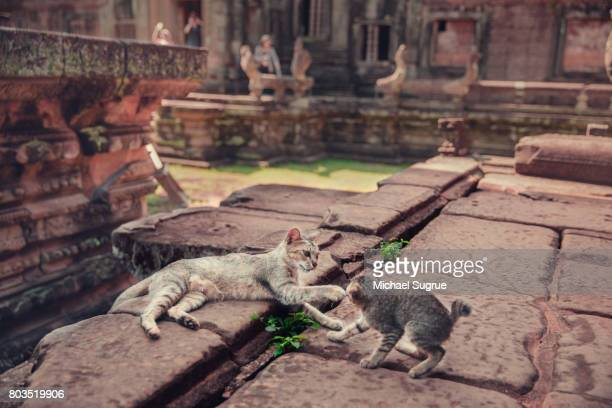 two kittens play at banteay samre temple at sunrise, near angkor wat, siem reap, cambodia. - banteay srei stock pictures, royalty-free photos & images