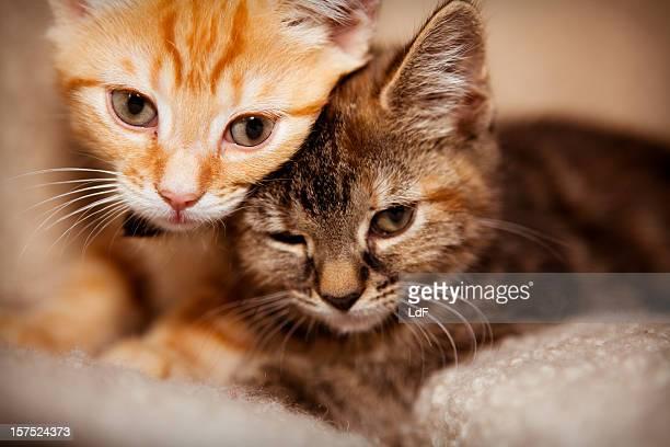 due gattini relax su un divano - due animali foto e immagini stock