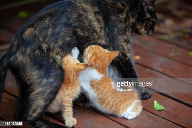 two kittens searching for mother's breast - gattini appena nati foto e immagini stock