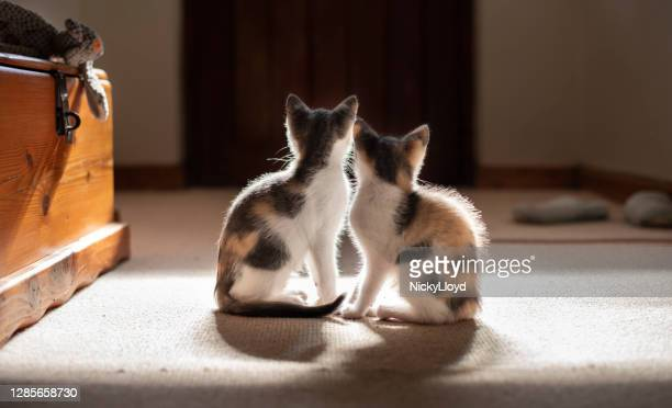 two kittens sitting together - two animals stock pictures, royalty-free photos & images
