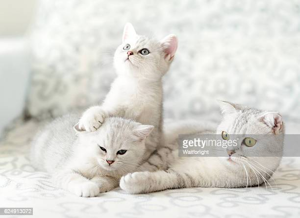 Two kittens with their mother on sofa