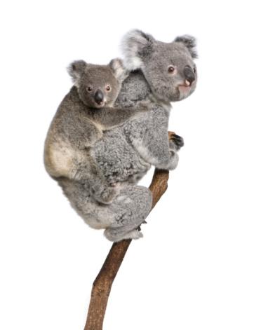 Two koala bears on a tree branch 93218233