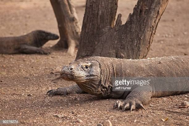 two komodo dragons - rinca island stock pictures, royalty-free photos & images