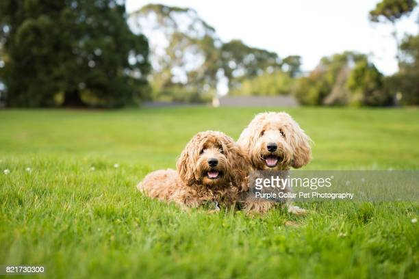 two labradoodle dogs lying down on grass outdoors - labradoodle stock photos and pictures