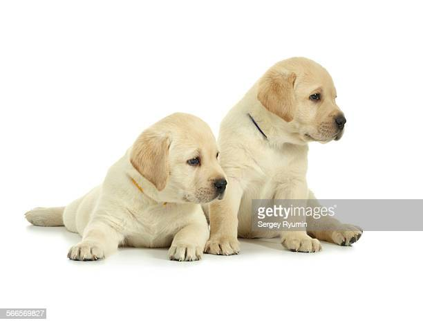 Two labrador retriever puppies isolated on white.