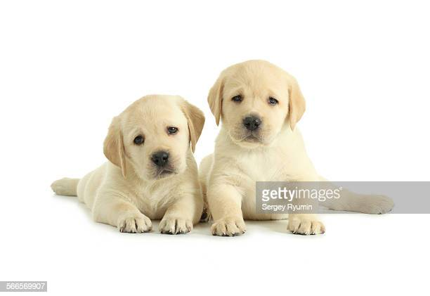 Two labrador retriever puppies isolated on white