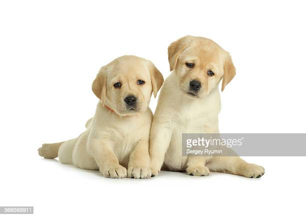 Two labrador retriever puppies isolated on white.