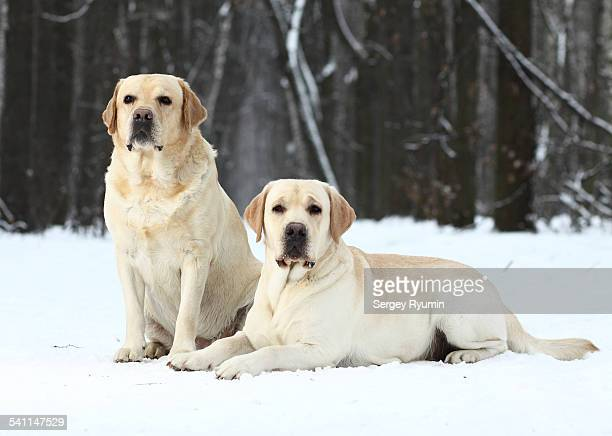 Two labrador retrievers
