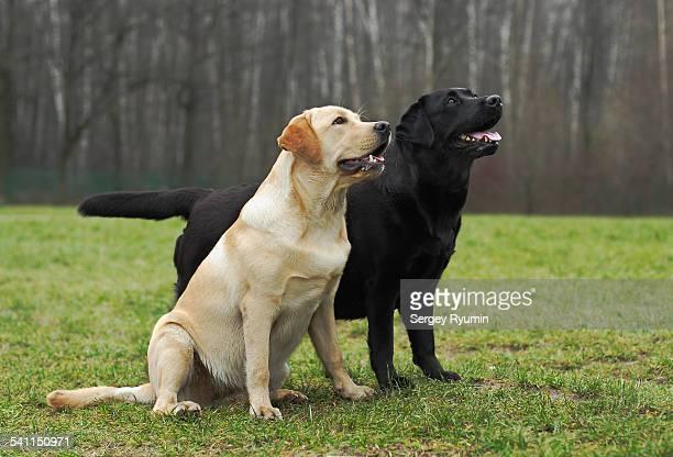 two labrador retrievers. - black labrador stock pictures, royalty-free photos & images