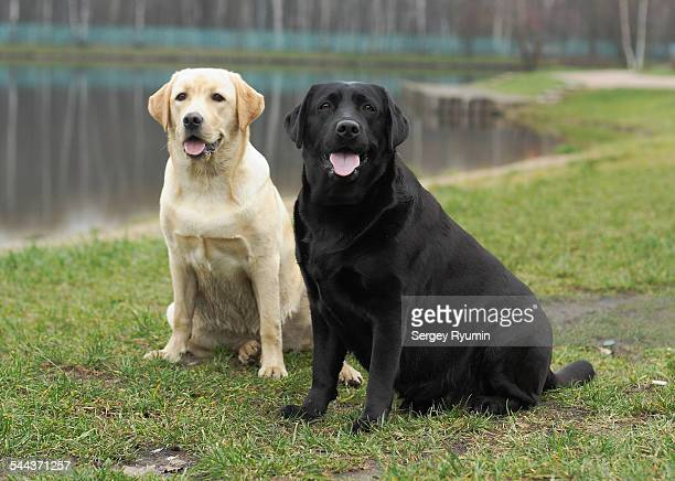Two labrador retrievers.