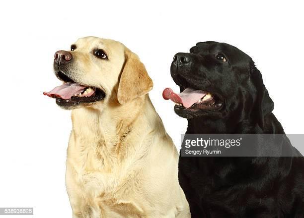 Two Labradors on white.