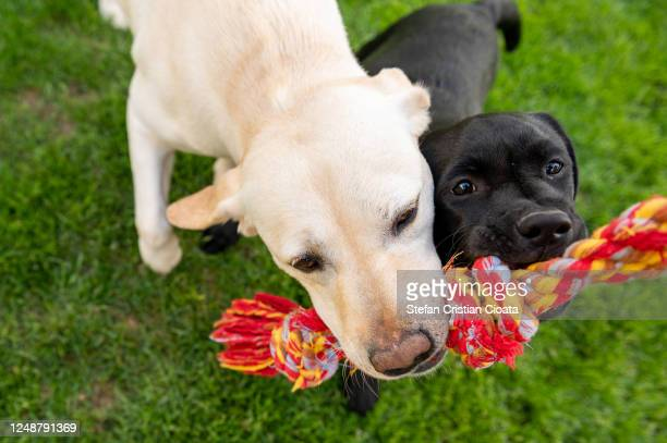 two labradors playing together outside - dogs tug of war stock pictures, royalty-free photos & images