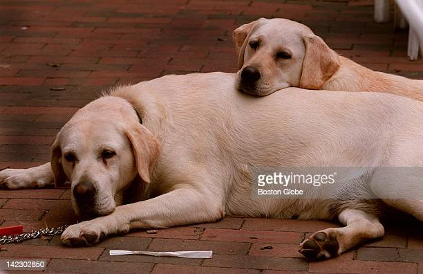 Two labradors wait for their owner at a restaurant on Main Street in Nantucket