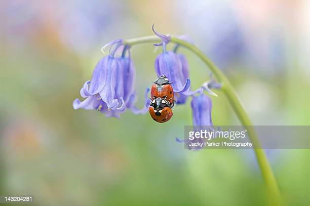 two ladybirds mating in spring - tierpaarung stock-fotos und bilder