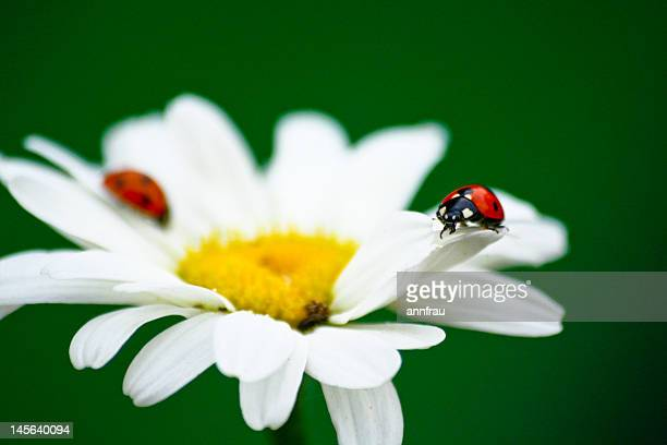 two ladybirds - annfrau stock pictures, royalty-free photos & images
