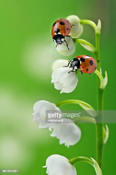 two ladybirds - muguet fleur photos et images de collection