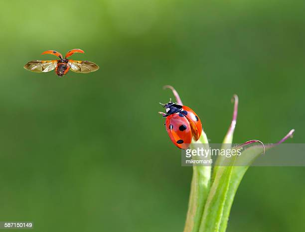 two ladybirds - seven spot ladybird stock pictures, royalty-free photos & images