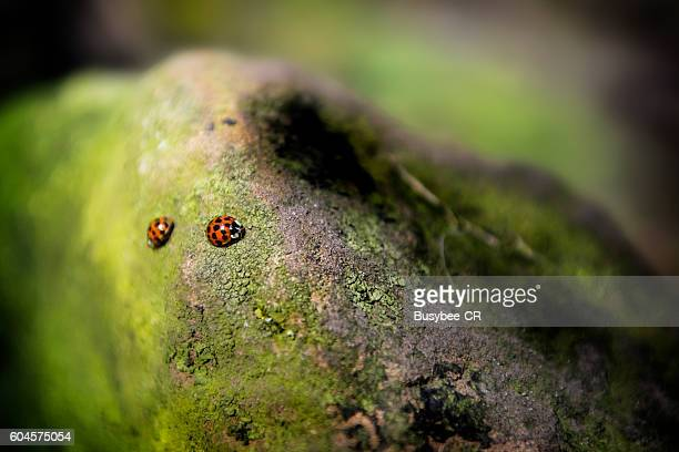Two Ladybugs on a rock going in opposite directions