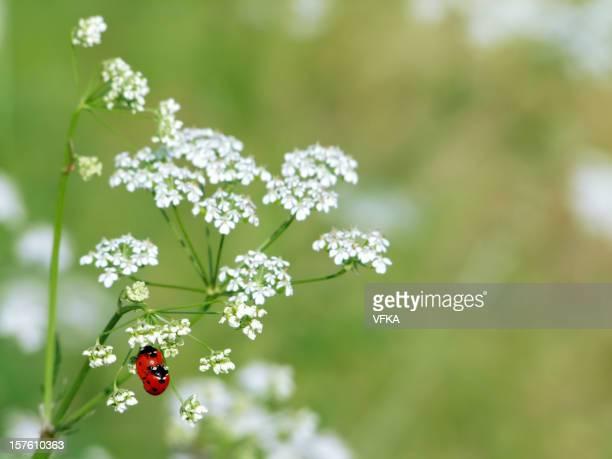Deux Ladybugs sur Millefeuille