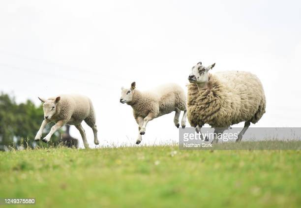 Two lambs and a sheep make their way to the pen as Farmers Philip Stirk and Chris Hynes prepare to shear them at Pines Lane Farm on June 13, 2020 in...
