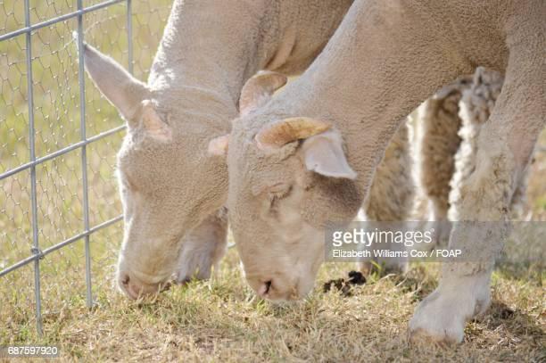 two lambs feeding grass - ランブイエ ストックフォトと画像