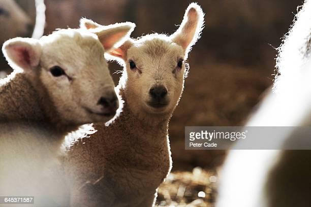 Two lambs in barn