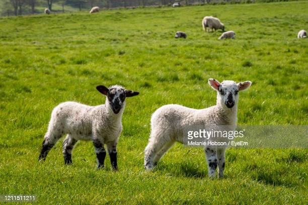 two lambs in the sussex countryside, on a sunny spring day - hill stock pictures, royalty-free photos & images