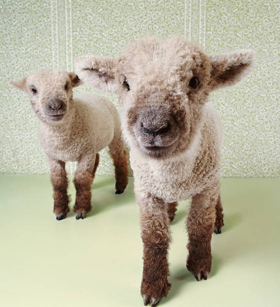 Two Lambs Indoors With Floral Wallpaper Wall Art
