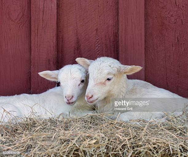 Two Lambs On Bed Of Hay