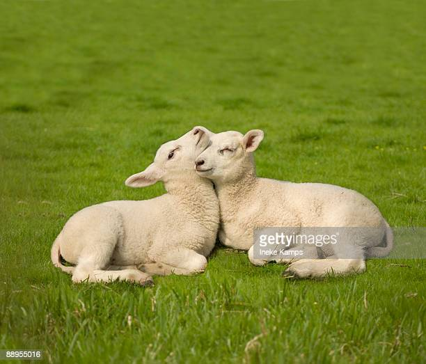 two lambs - 子羊 ストックフォトと画像