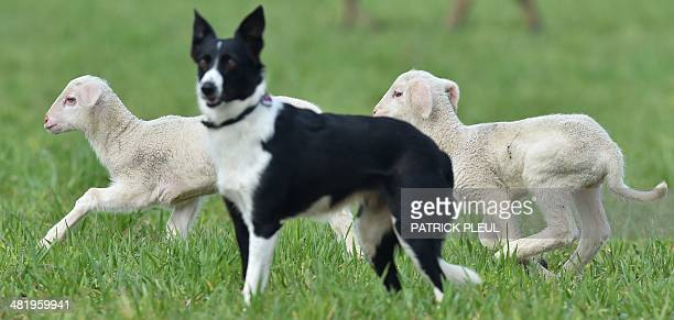 Two lambs run past a herding dog on a meadow near Frankfurt an der Oder eastern Germany on April 1 2014 AFP PHOTO / DPA / PATRICK PLEUL / GERMANY OUT
