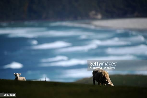 Two lambs walk in a field near Cape Sanders in Dunedin on September 26 2011 AFP PHOTO / CHRISTOPHE SIMON