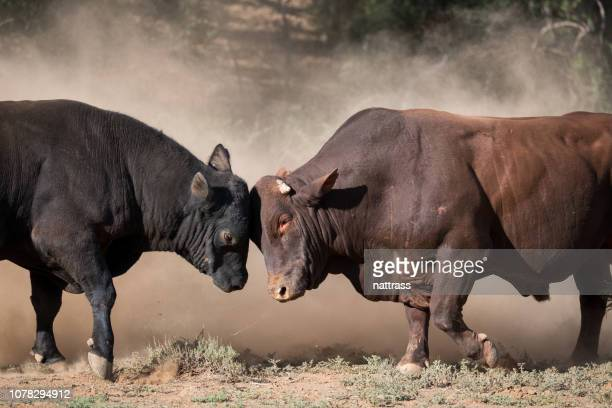 two large bulls fighting - bull animal stock pictures, royalty-free photos & images